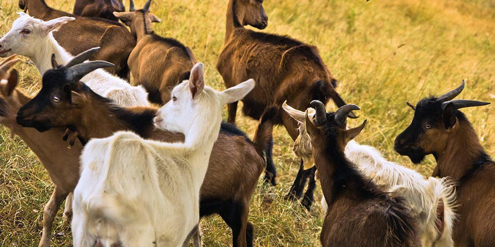 Feedex Goats - Organic Livestock Feed - Organic Goat Feed