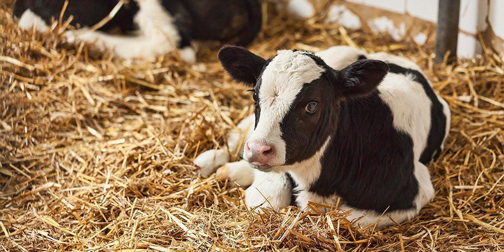 Healthy Calf - Organic Livestock Feed - Organic Calf Feed