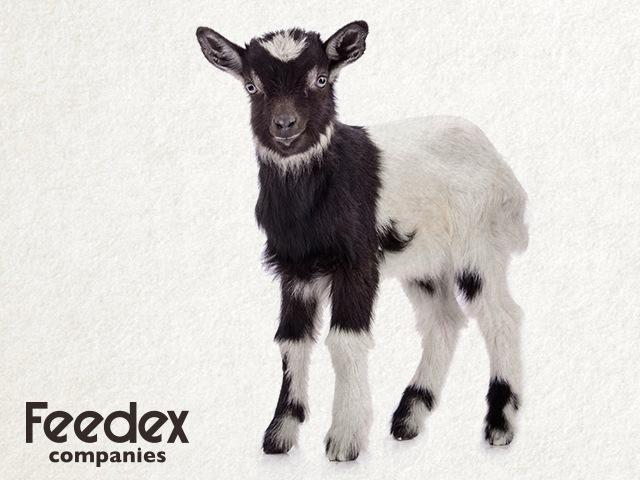 Caring for Goats-Organic Livestock Feed Manufacturers-Organic Goat Feed