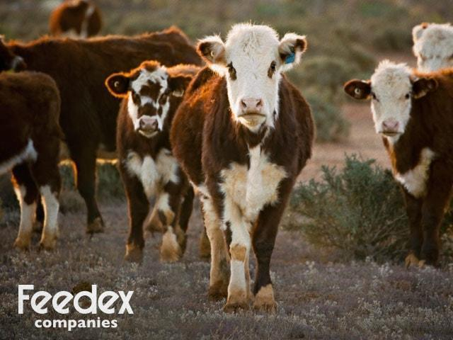 Caring for Cattle-Organic Livestock Feed Manufacturers-Feedex Companies-Hutchinson, KS