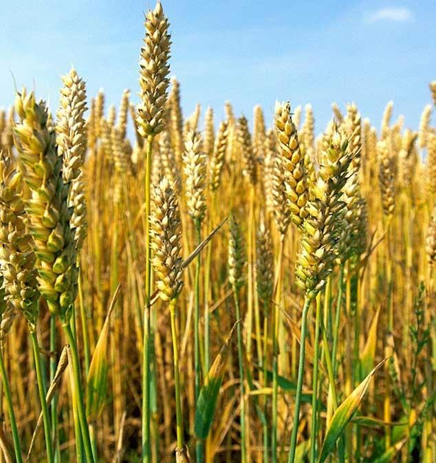 Organic Livestock Feed Grain